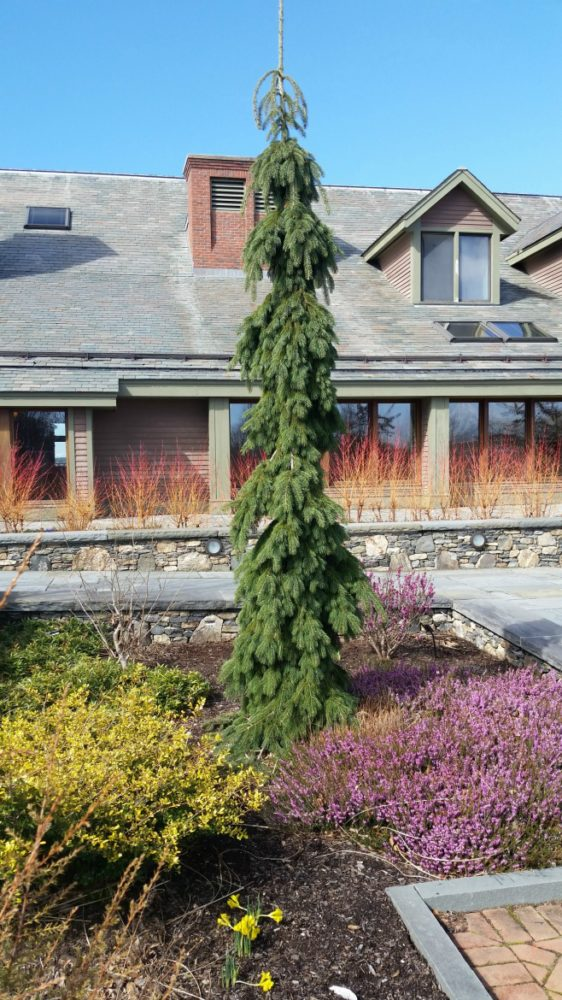 Vertical blue spruce with yellow evergreen and heath