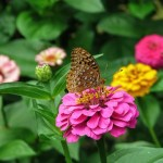 Zinnias with butterfly