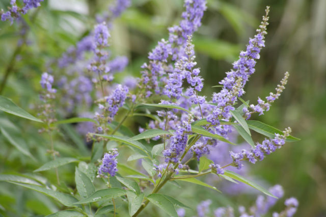 Violet blue Chaste tree, Vitex