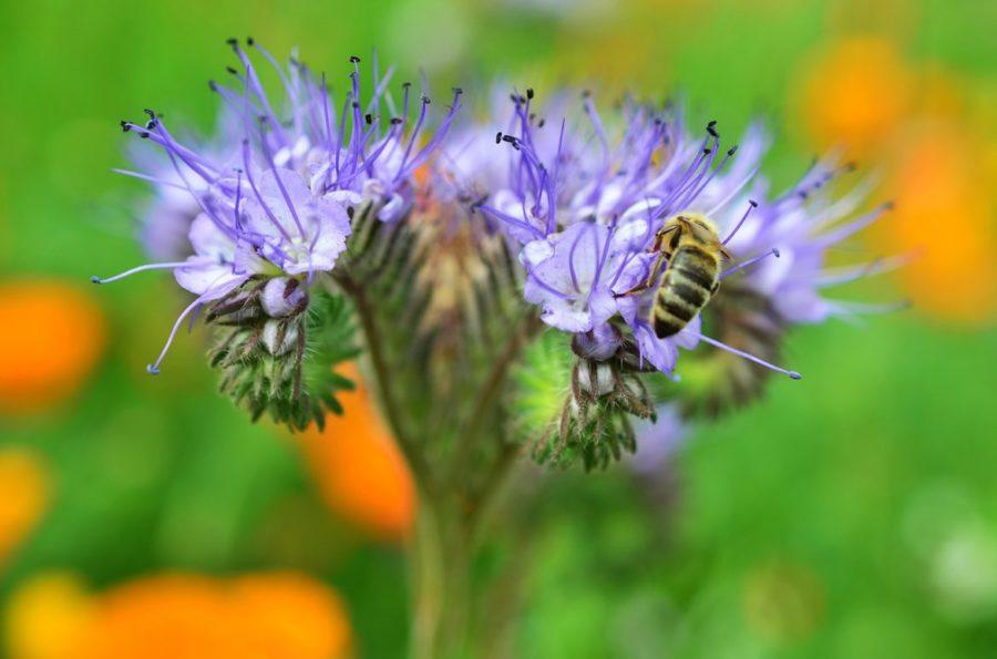 lavender phacelia, or bee's friend