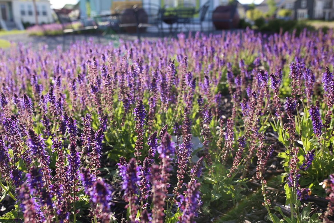 purple salvia and patio in background, does it have neonicotinoids in it?