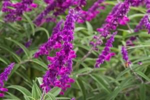 Purple Mexican Bush Sage (Salvia leucantha)