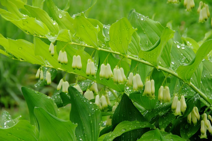 Sophisticated Solomon's Seal