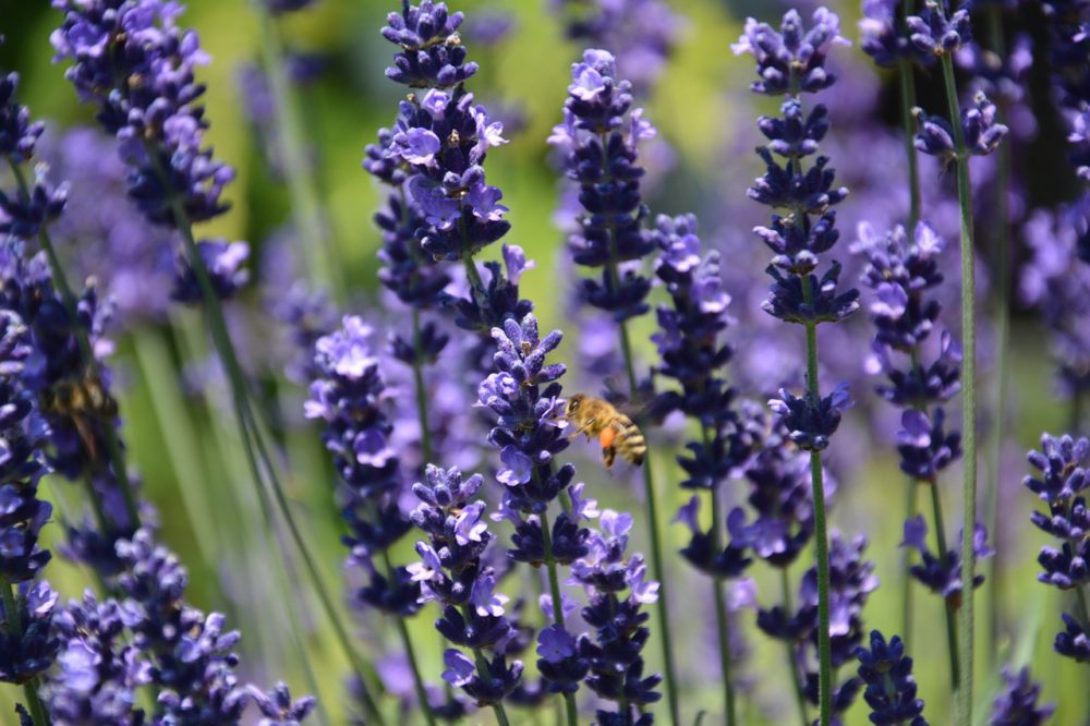honey bee flying to lavender
