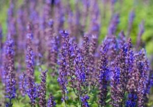 Hybrid purple sage