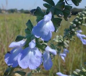 Blue Sage, salvia azurea