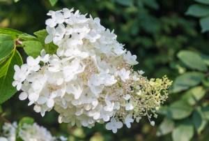 white hydrangea paniculata