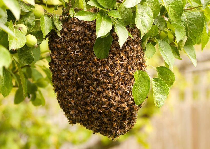 A Swarm of Bees Has Landed in Your Yard What Do you Do? - Green Garden Buzz