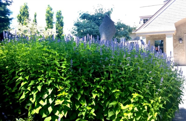 anise hyssop, organic gardening tips from CMBG