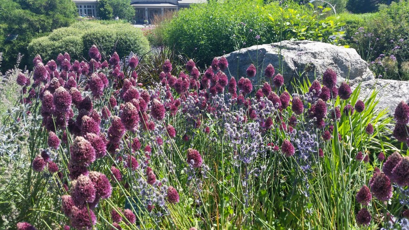 Purple Drumstick Alliums and Blue Glitter Sea Holly
