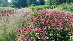bee garden, pink echinacea
