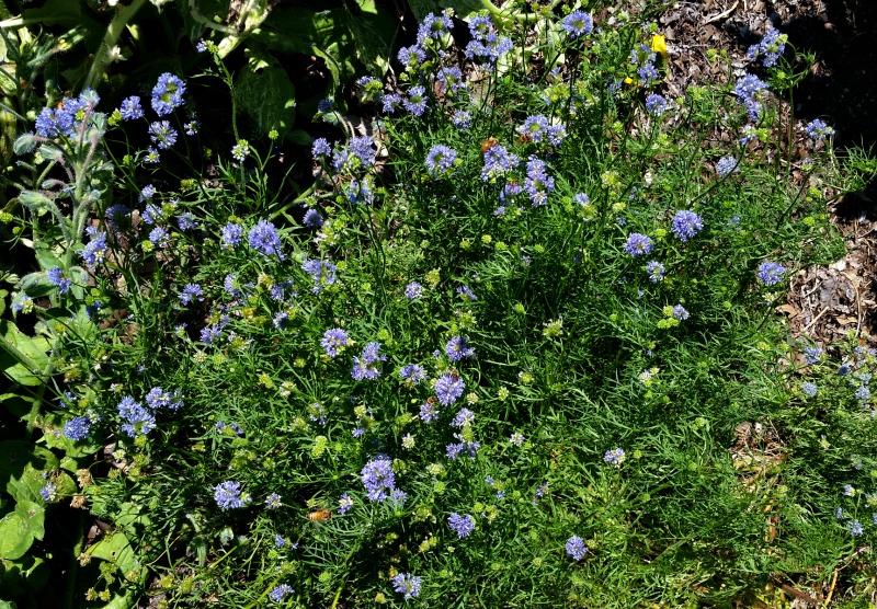 bee flower, Blue Thimble Flower