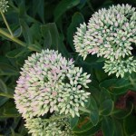 bee flowers, sedum 'Autumn Joy'