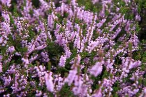 bee flowers, Heath