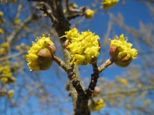 bee flowers, cornus mas
