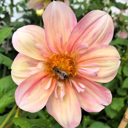 Apple Blossom dahlia closeup with bee