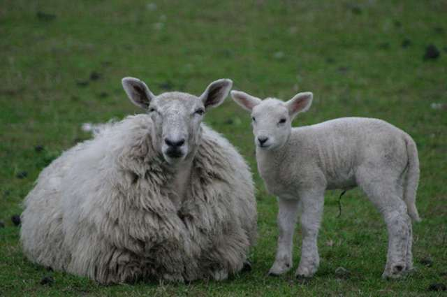 Two sheep - wool insulation