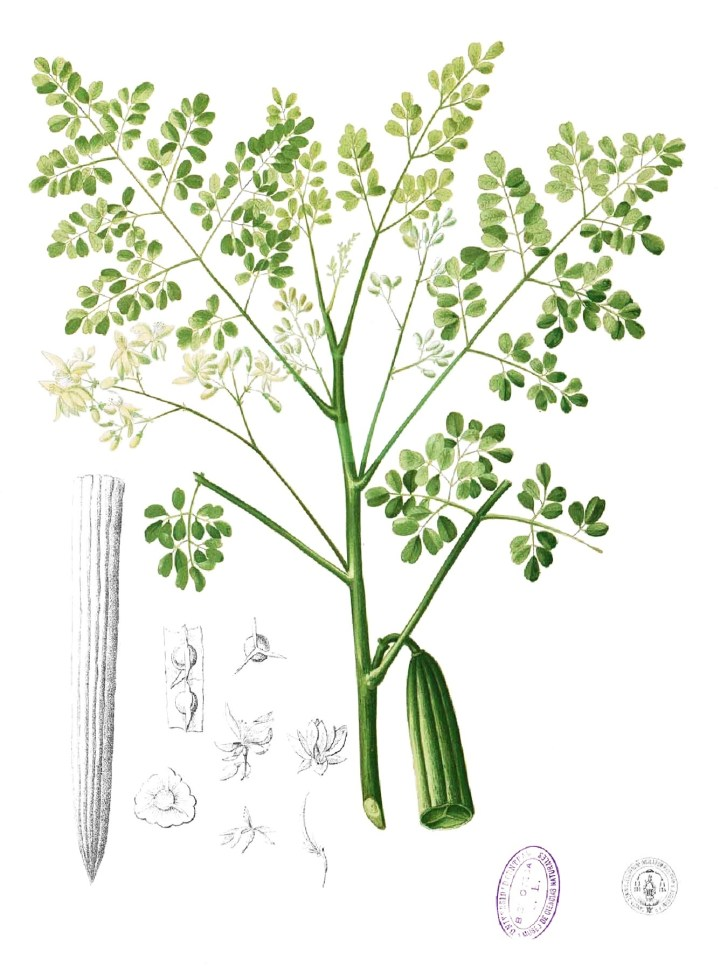Habit of the moringa plant