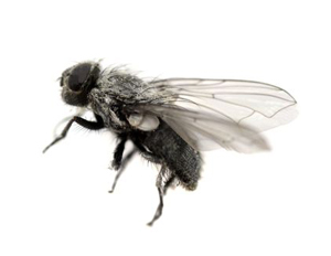 cluster flies flies in the kitchen , flies in wolverhampton , flies in the roof , get rid of flies wolverhampton willenhall ,