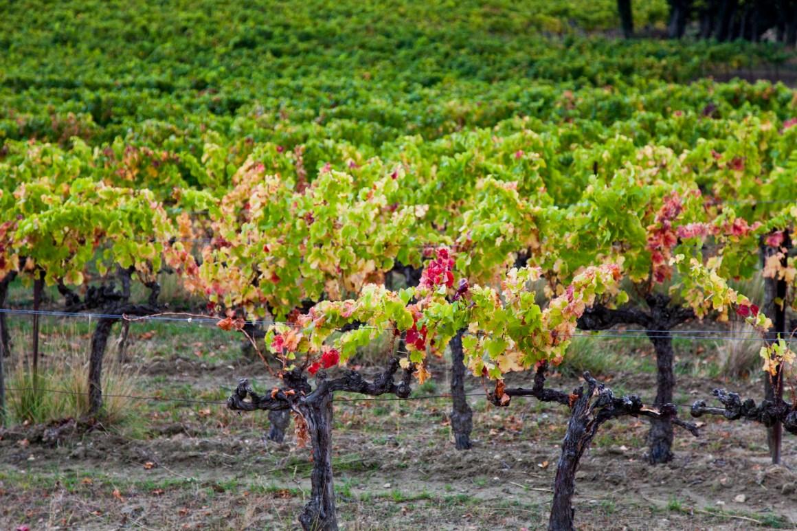 Vignes du domaine Rozel, appellation Grignan-les-Adhémar. © Elodie Rothan