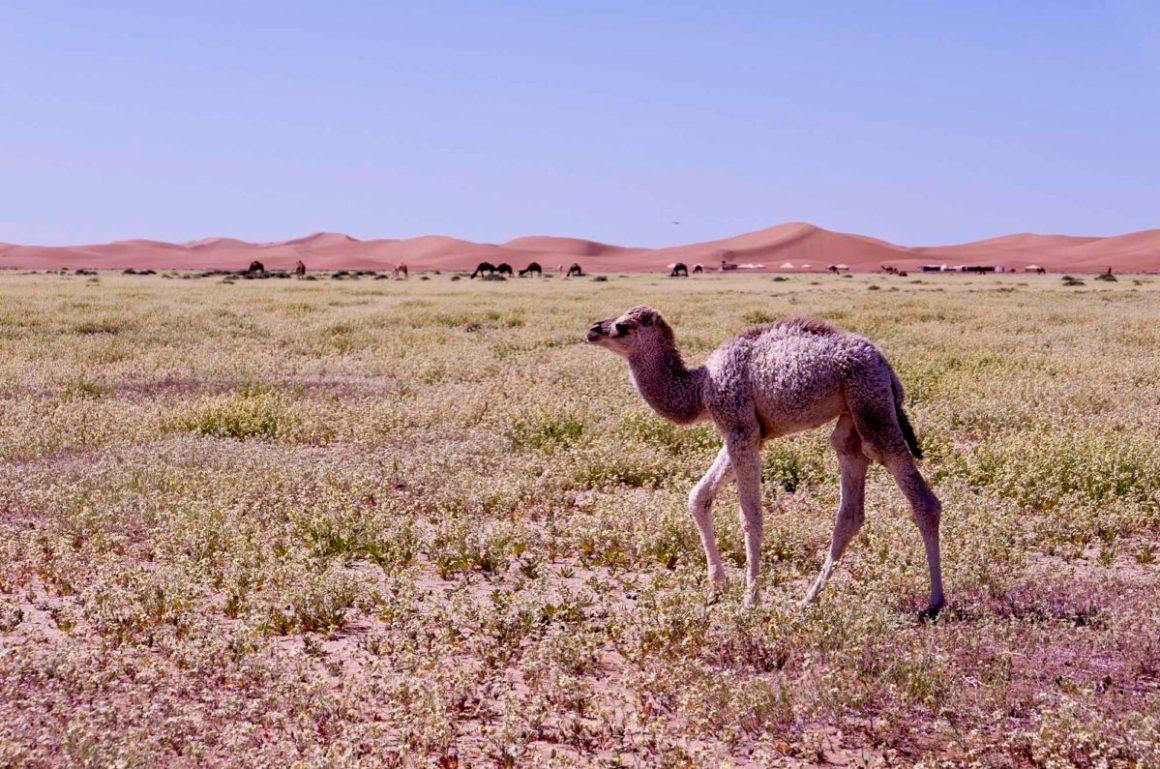 Jeune dromadaire, Umnya Dune Camp, Maroc. © Elodie Rothan