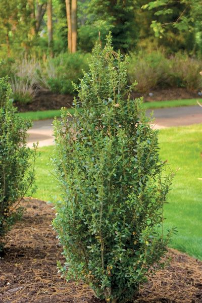 Tall Evergreen Shrubs