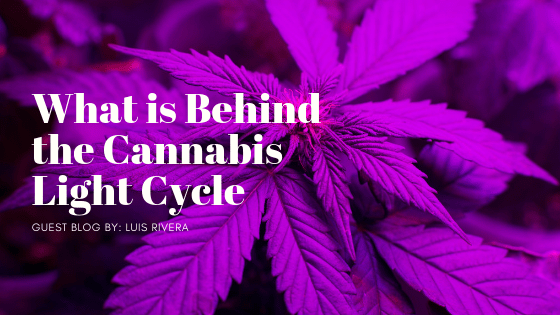 What is Behind The Cannabis Light Cycle