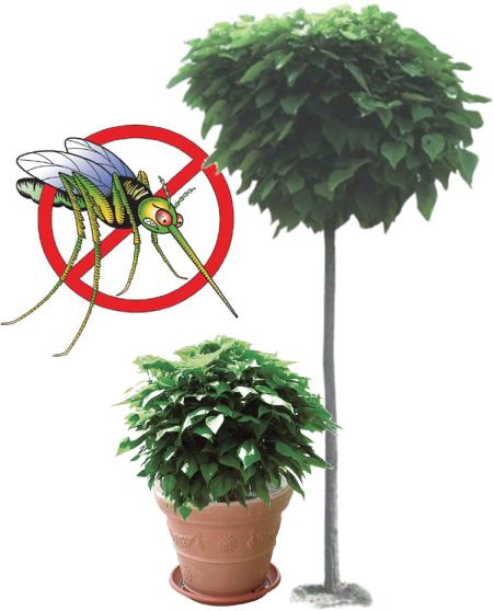 catambra-pianta-antizanzare