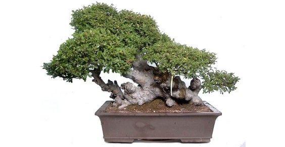 Bonsai 10 Consigli Per Principianti Greenmeit