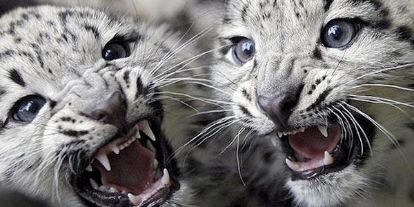 leopardo nevi 2