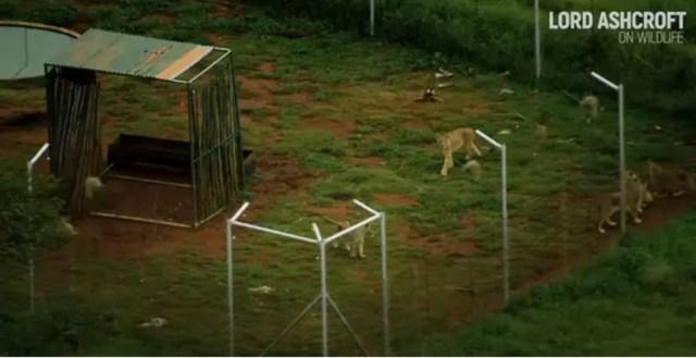 12mila leoni vengono allevati in cattività in Sudafrica per essere uccisi dai turisti