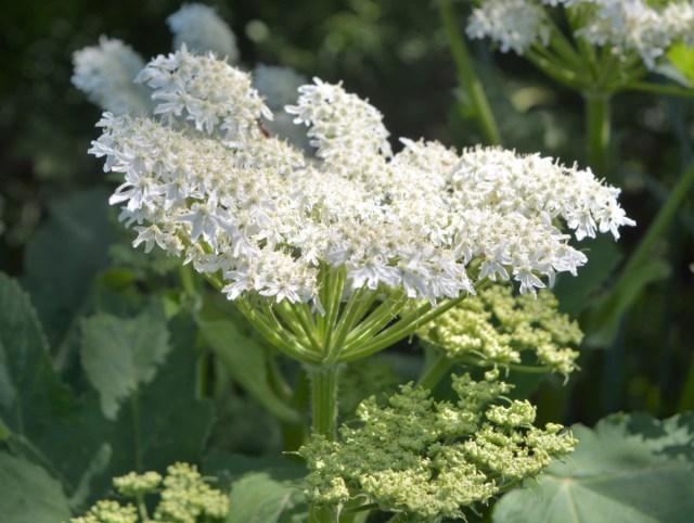Fiore panade di mantegazza