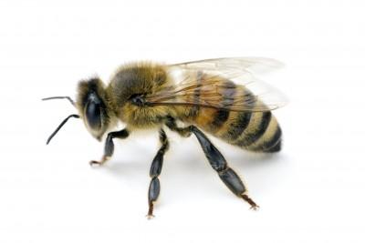 Healer Bee