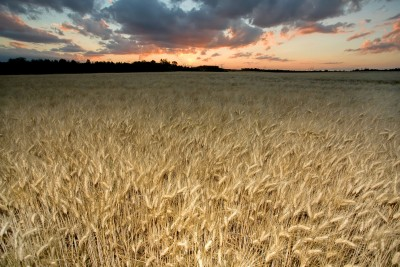 Wheat Contains Not One, But 23K Potentially Harmful Proteins