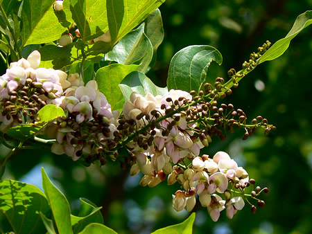 The Wonder-Plant Pongamia Pinnata