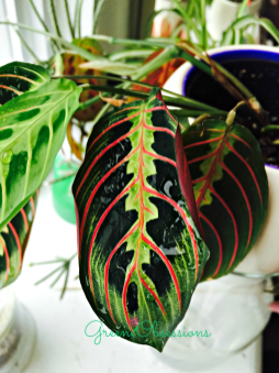 Prayer Plant with rolled edges