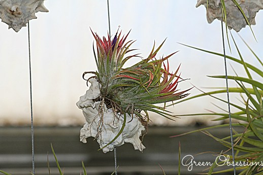 airplant4