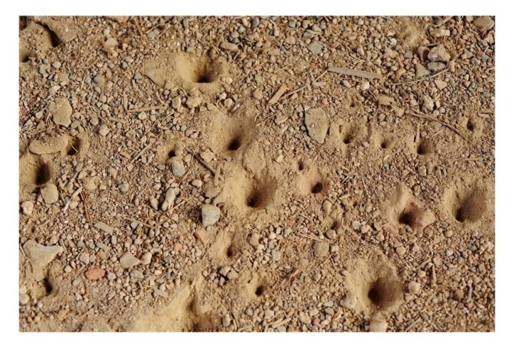 An ant's minefield of death. In each of these pits lurks a very hungry antlion larva