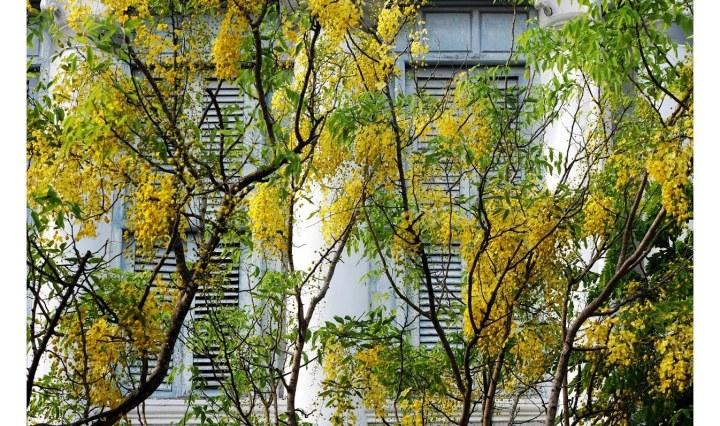 The Golden Shower Tree (Cassia fistula) or Amaltas is symbolic of Vishu