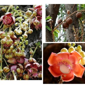 The Cannonball Tree, an explosion of beauty