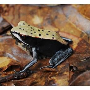 Encounter: Bicoloured Frog