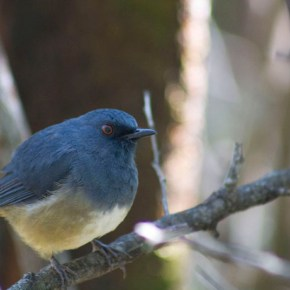 Encounter: Shortwing or Blue Robin?