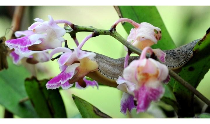 Slugs on orchid, Agumbe