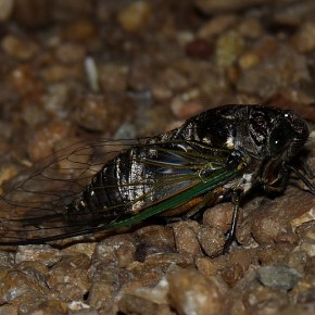 The Cicada's Night Out
