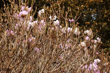 A cluster of thick rhododendron bushes