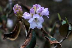 White dwarf rhododendron with buds
