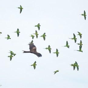 Birds Bizarre: Revenge of the Plum-headed Parakeets?