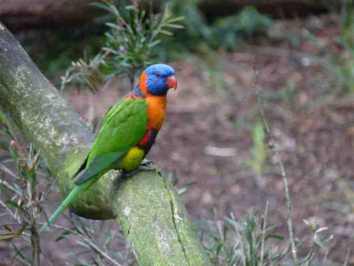 Rainbow Lorikeet in Melbourne