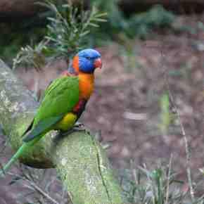 Birding notes from Melbourne, Australia