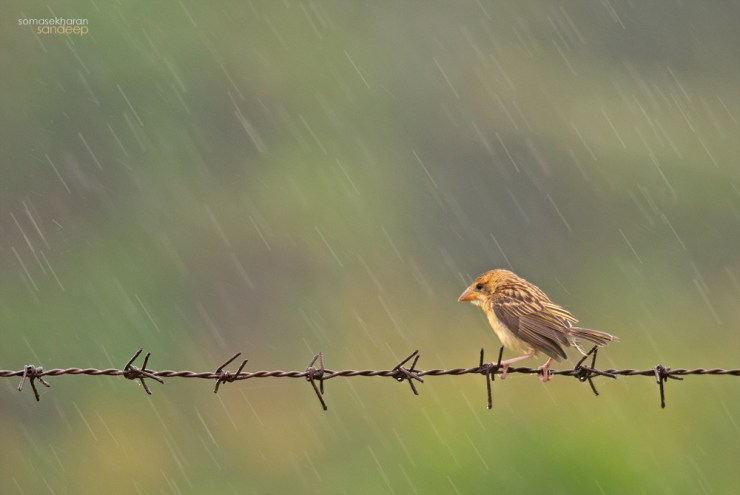 Brown girl In the rain : A baya weaver (Ploceus philippinus) female enjoys an early monsoon shower.